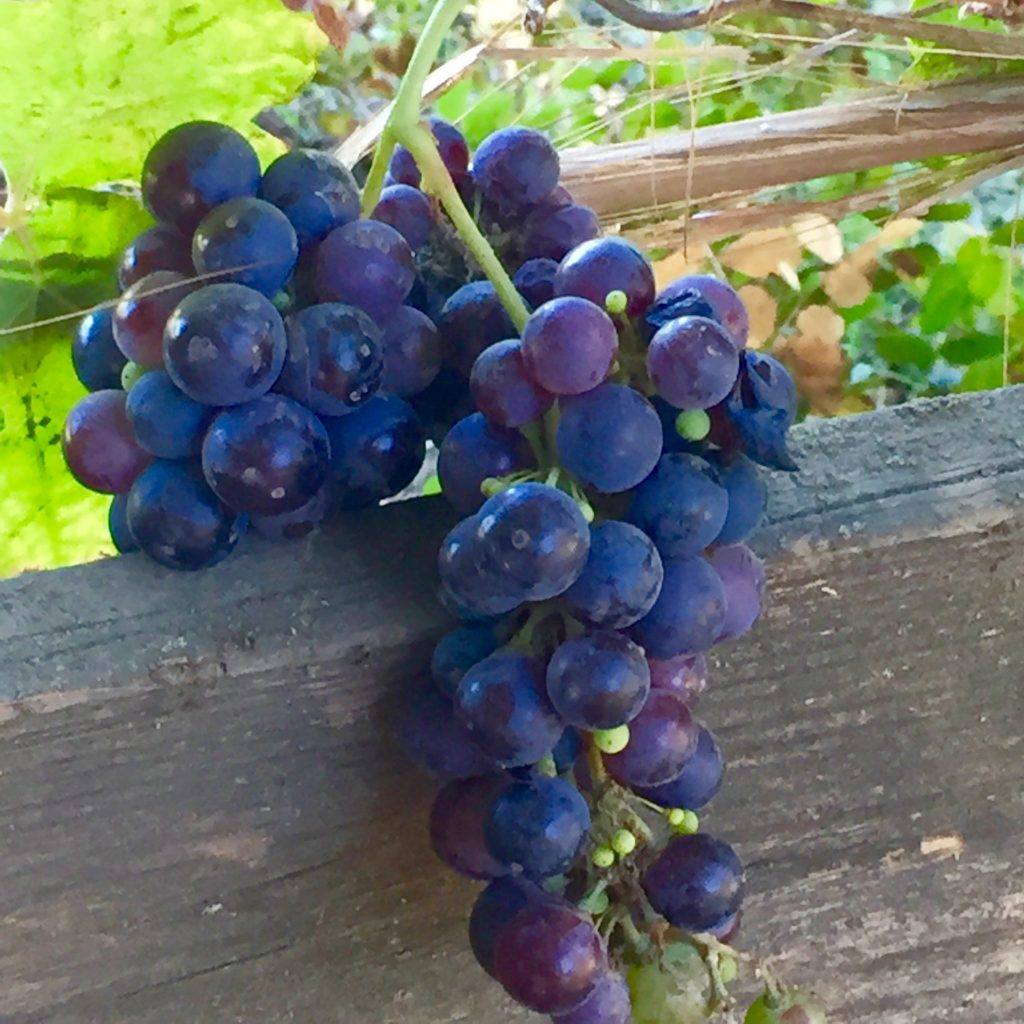 Lodi Grapes - 1